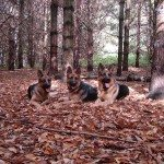 3 dogs relaxing in the leaves in Barrie