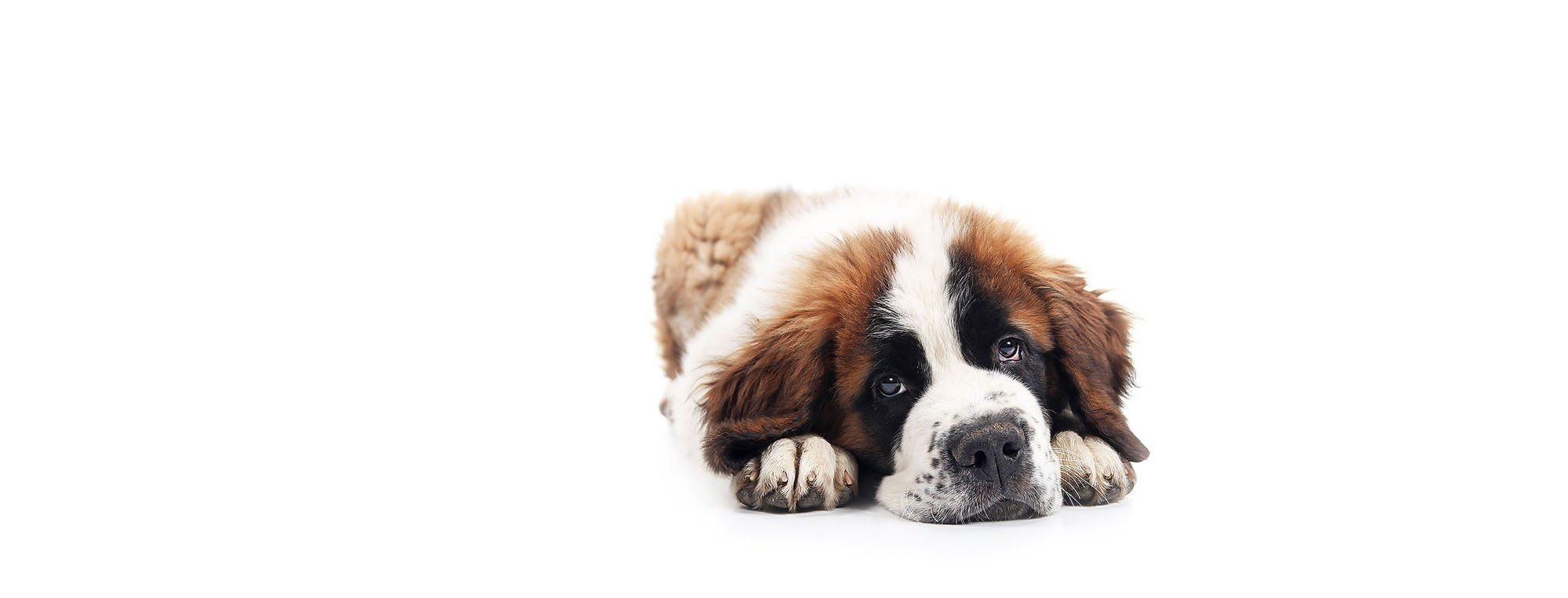 Dog Resting