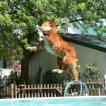 Dog catches his toy and jumps into a pool at our Barrie vet clinic