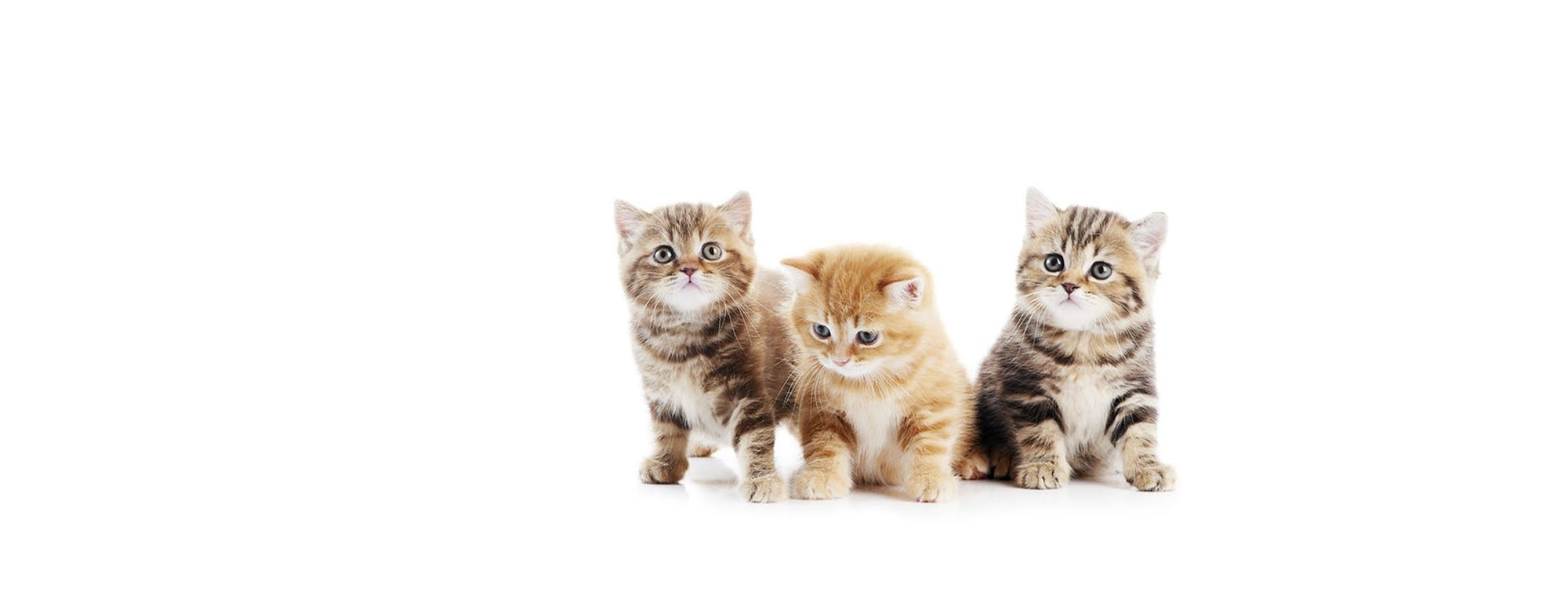 Shorthair kittens