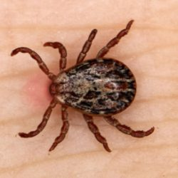 Ticks can cause lyme disease and infections in left untreated